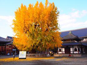 秋の大銀杏の紅葉がすごい!京都「西本願寺」期間限定のカフェも|京都府|トラベルjp<たびねす>