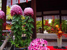名所で穴場!秋の京都「上御霊神社」菊の花に銀杏の絨毯も!