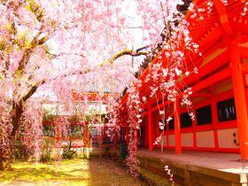 これこそ春!文豪も愛した京都「平安神宮・神苑」の八重紅しだれ桜
