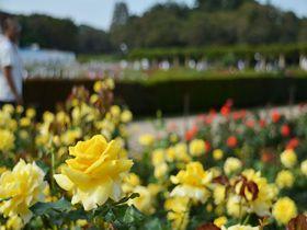 都内最大規模の「バラフェスタ」!神代植物公園でバラを楽しもう