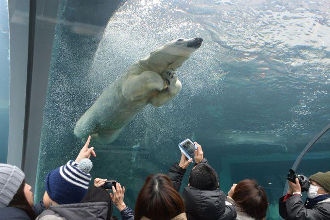 お尻も肉球も見放題!?札幌市円山動物園「ホッキョクグマ館」
