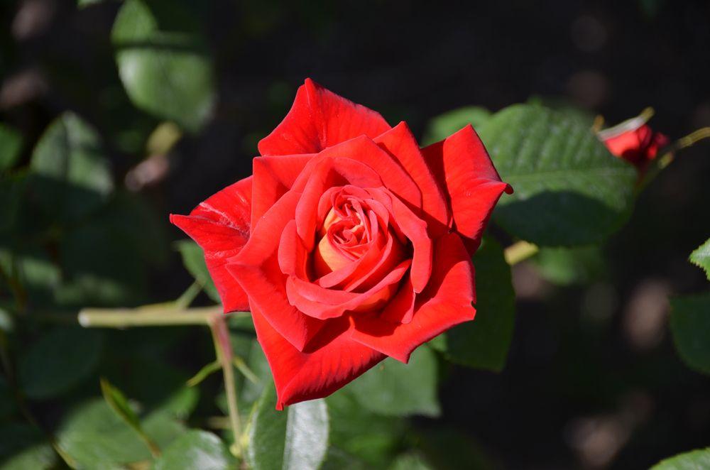 コンテスト受賞品種続々!美しいバラの魅力とは