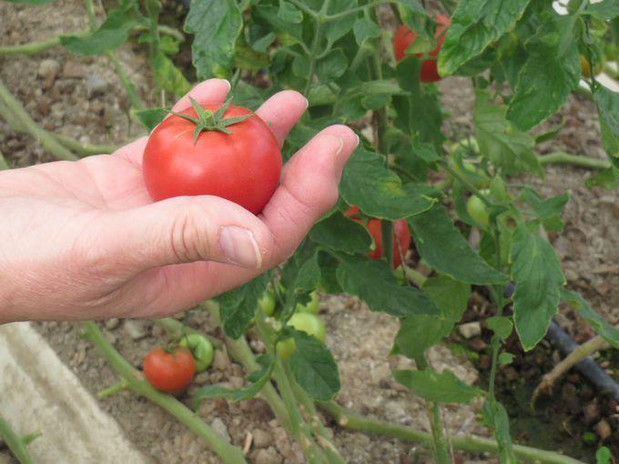 シュガートマトの収穫体験も!
