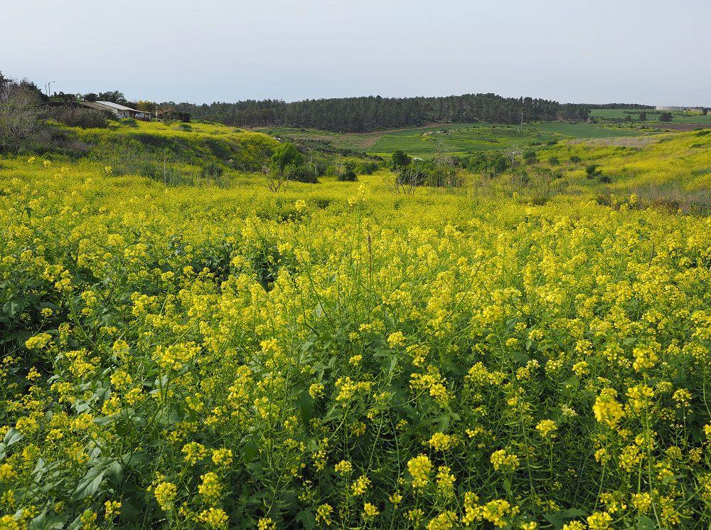 ガリラヤの春に咲き誇る花たち