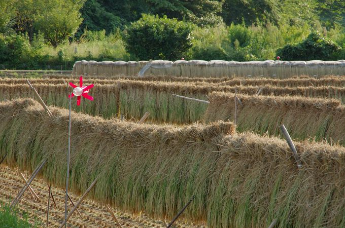間近で見られる田んぼと収穫風景