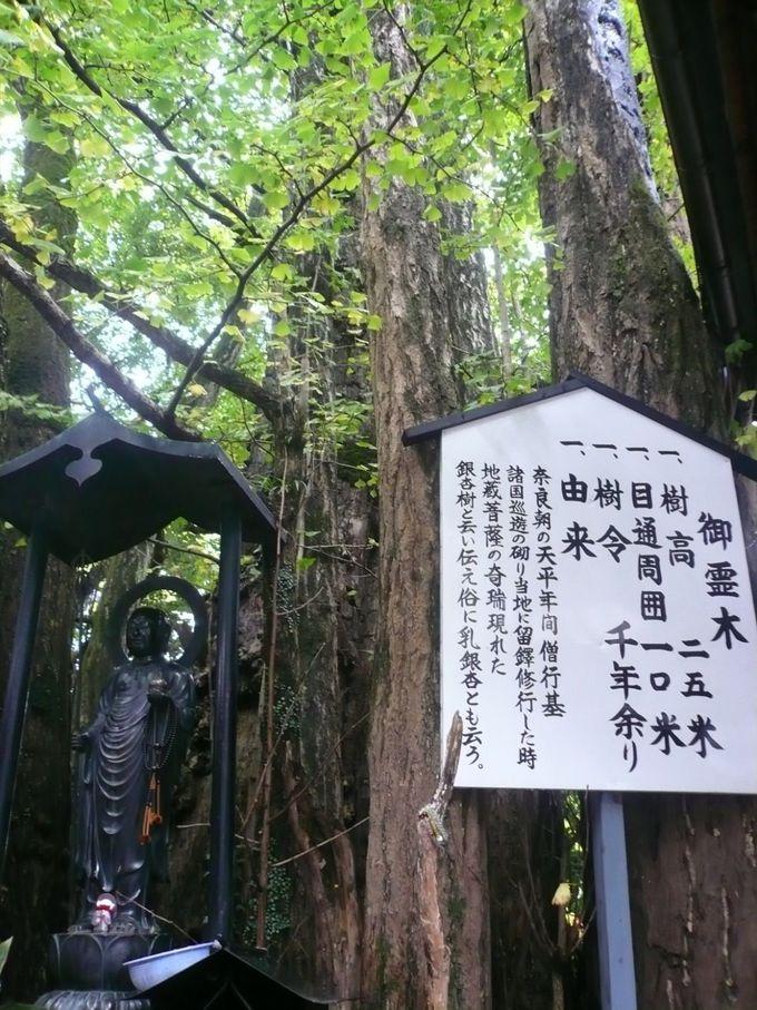 樹齢1000年の乳銀杏と呼ばれるイチョウの霊木でパワーチャージ
