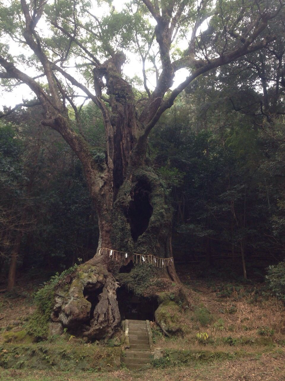佐賀のパワースポット「武雄の大楠」は樹齢3000年