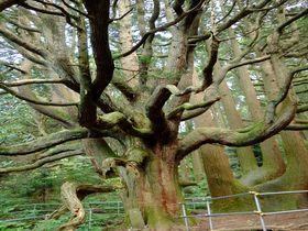 神秘的!圧倒的存在感に息をのむ熊本阿蘇の「高森殿の杉」|熊本県|トラベルjp<たびねす>