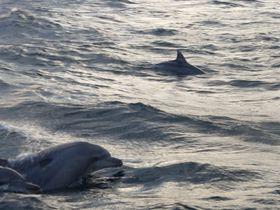 奇跡の遭遇率!天草のミナミハンドウイルカに会いに行こう!|熊本県|トラベルjp<たびねす>