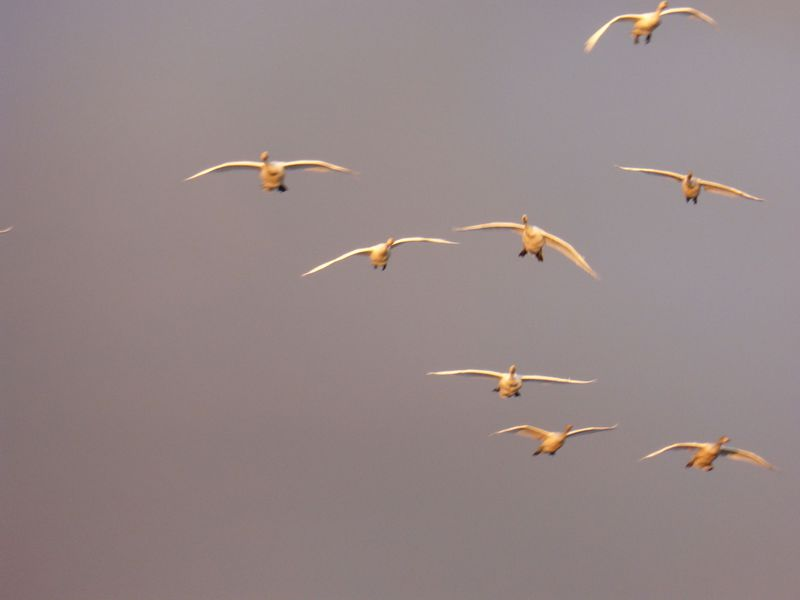 凄い数の白鳥が飛来!ラムサール条約にも登録!新潟県「瓢湖」