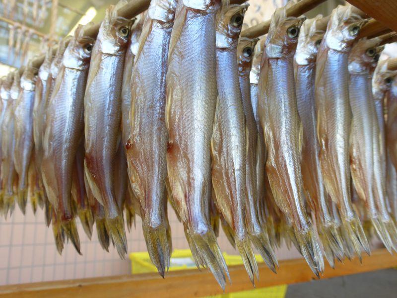 神がくれた魚「ししゃも」 北海道鵡川でホンモノを食らう
