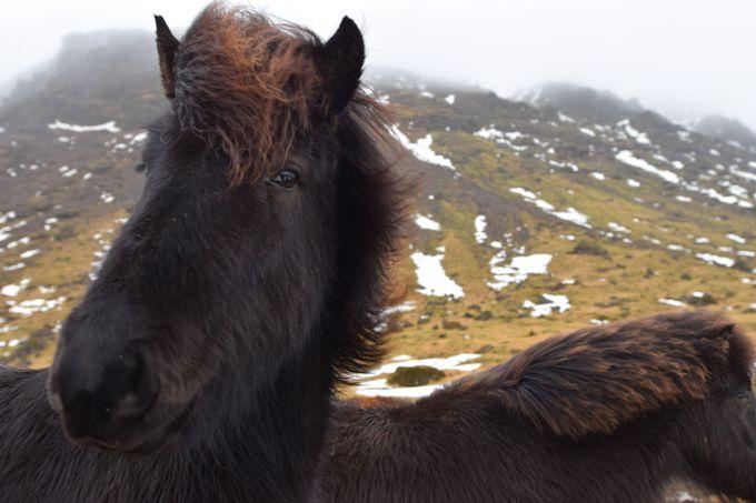愛嬌たっぷりのアイスランド馬に癒されよう!
