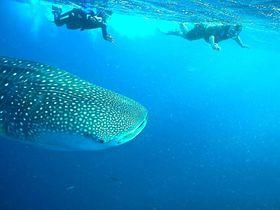 セブ島最南端・オスロブ!シュノーケリングで憧れのジンベイザメと泳ぐ!