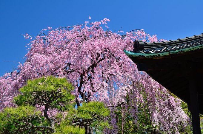 美しいしだれ桜
