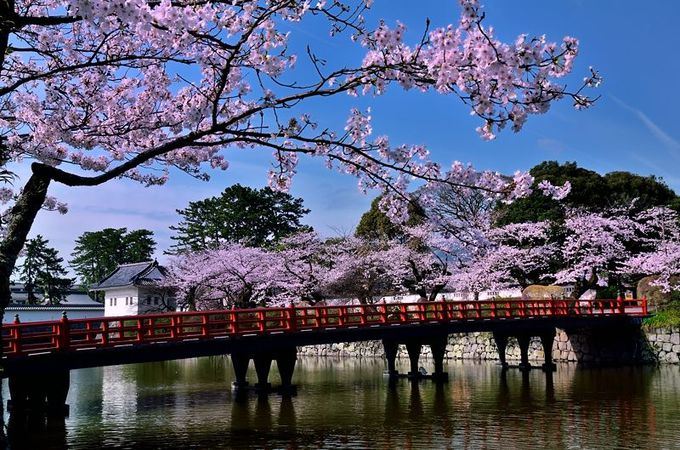 桜に囲まれた橋で城内へ