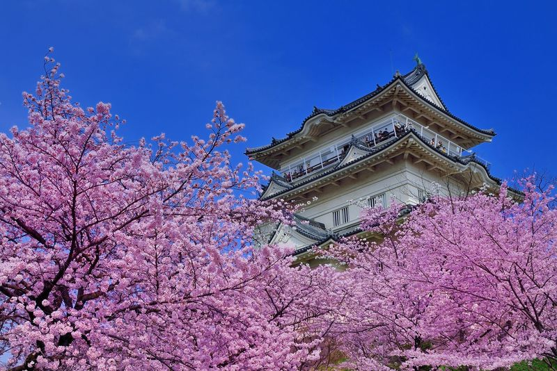 「天守閣」と「桜」の最強コンビ!小田原城は関東を代表する桜の名所!