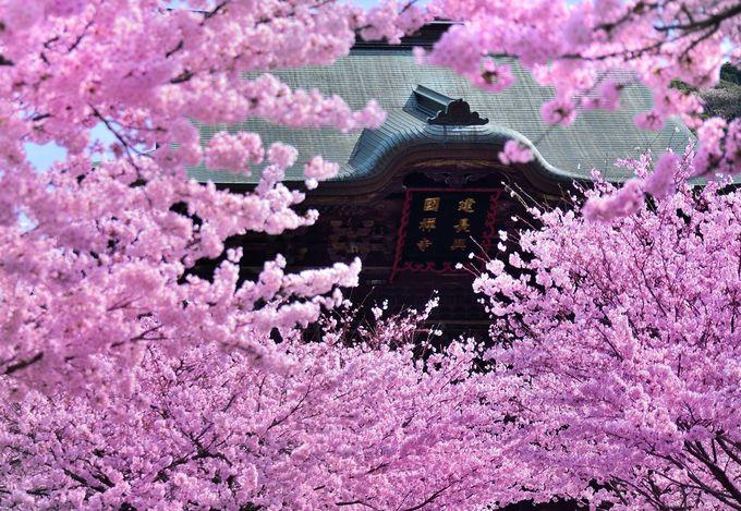 満開の桜の隙間から見る「建長興國禅寺」の文字