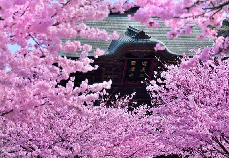 古都鎌倉の桜!「鎌倉五山第一位」建長寺の桜はまさに名所の風格!