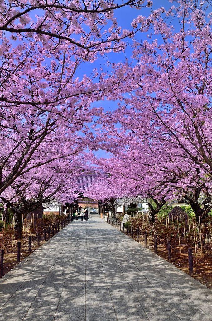 山門への道は、桜の道