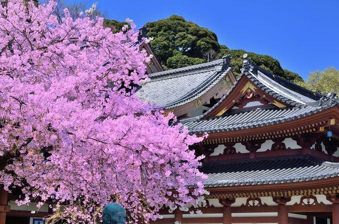 観音堂と桜の競演