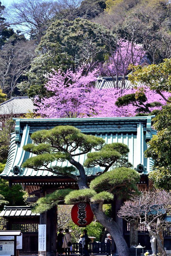 参道から見える桜