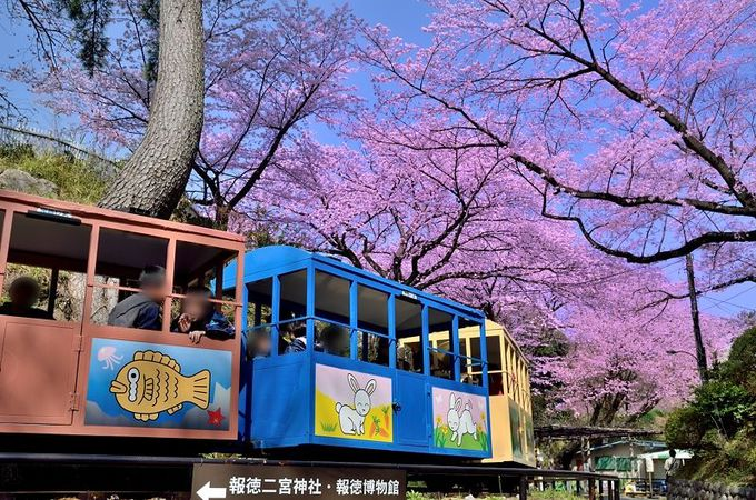 満開の桜の下を駆け抜ける、小さな列車