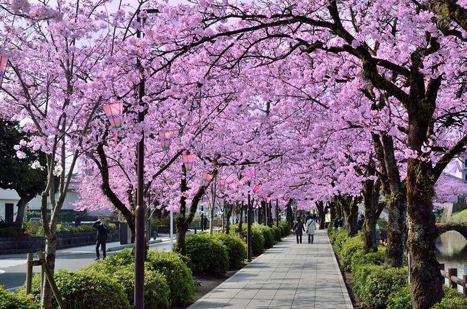 お堀端通りは、桜の道