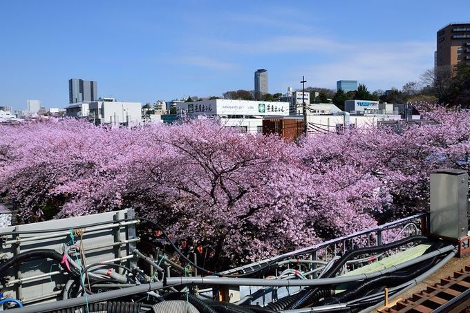 東横線の車窓から見える、目黒川の桜