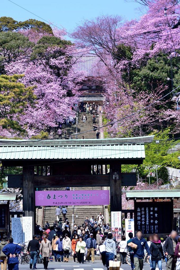 参道から見る桜