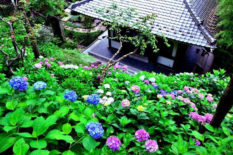 鎌倉の街×湘南の海×あじさいの共演!長谷寺は鎌倉を代表するあじさいの名所