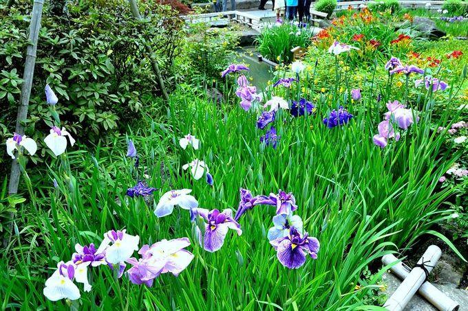 紫陽花だけじゃない!花菖蒲も美しい!
