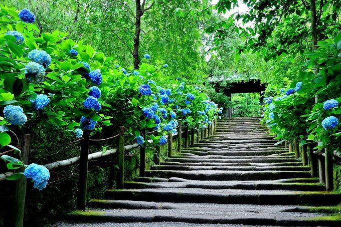梅雨を彩る明月院ブルー!あじさいの名所「明月院」