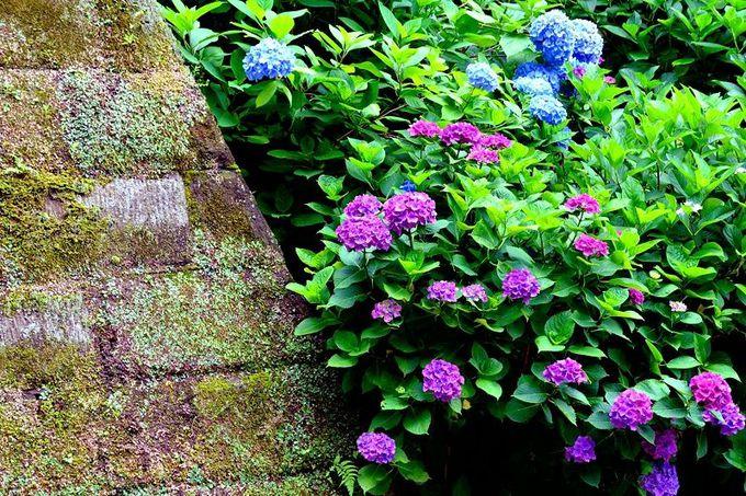 3.歴史の中に咲く可憐なあじさいの花「円覚寺」