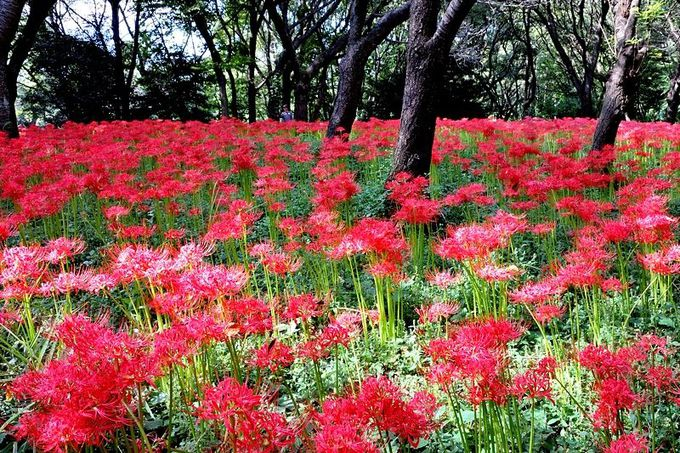 まるで赤い絨毯!一面の彼岸花