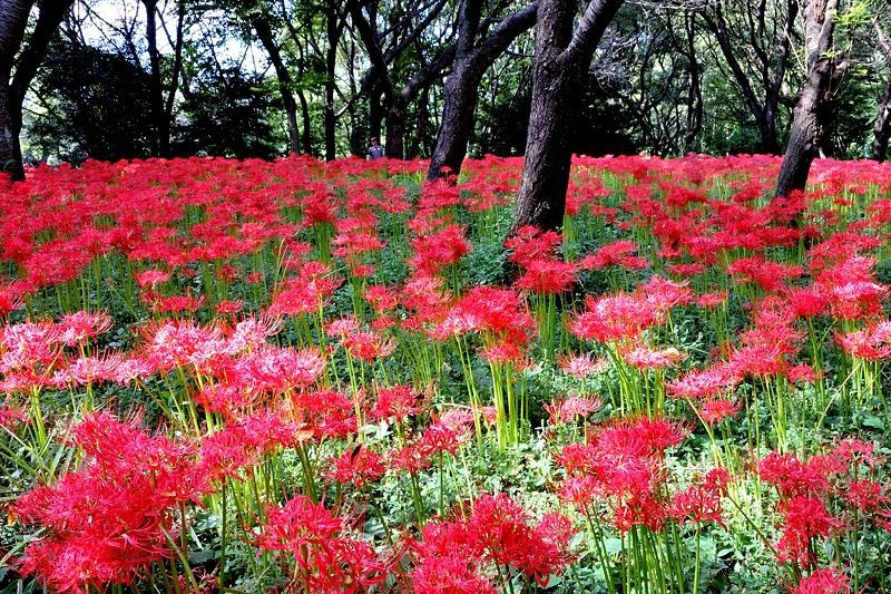 都内の彼岸花の意外な名所!野川公園の自然観察園で見る秋の赤い絨毯