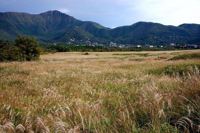黄金色に輝く大地を歩く箱根の秋!「仙石原すすき草原」