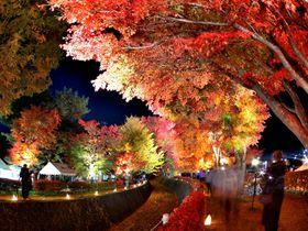 紅葉ライトアップが美しすぎる!富士河口湖もみじ回廊で秋を満喫しよう!
