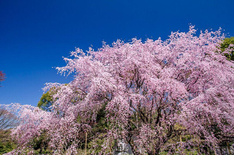 東京都内有数の桜の名所「六義園」
