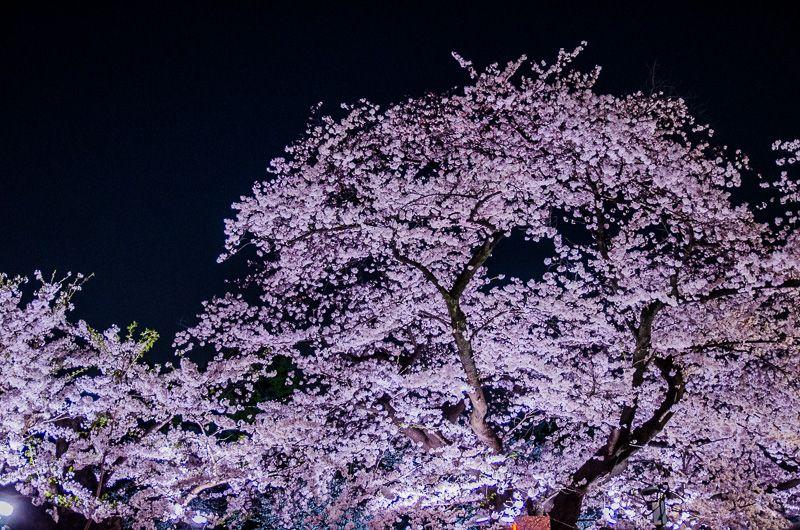 幻想的な美しさ!千鳥ヶ淵の夜桜ライトアップ