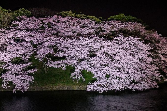 壮大なスケールで咲き誇る!江戸東京夜桜幻影