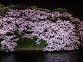 東京「千鳥ヶ淵」の桜ライトアップが凄い!都内屈指の夜桜を味わい尽くす|東京都|トラベルjp<たびねす>