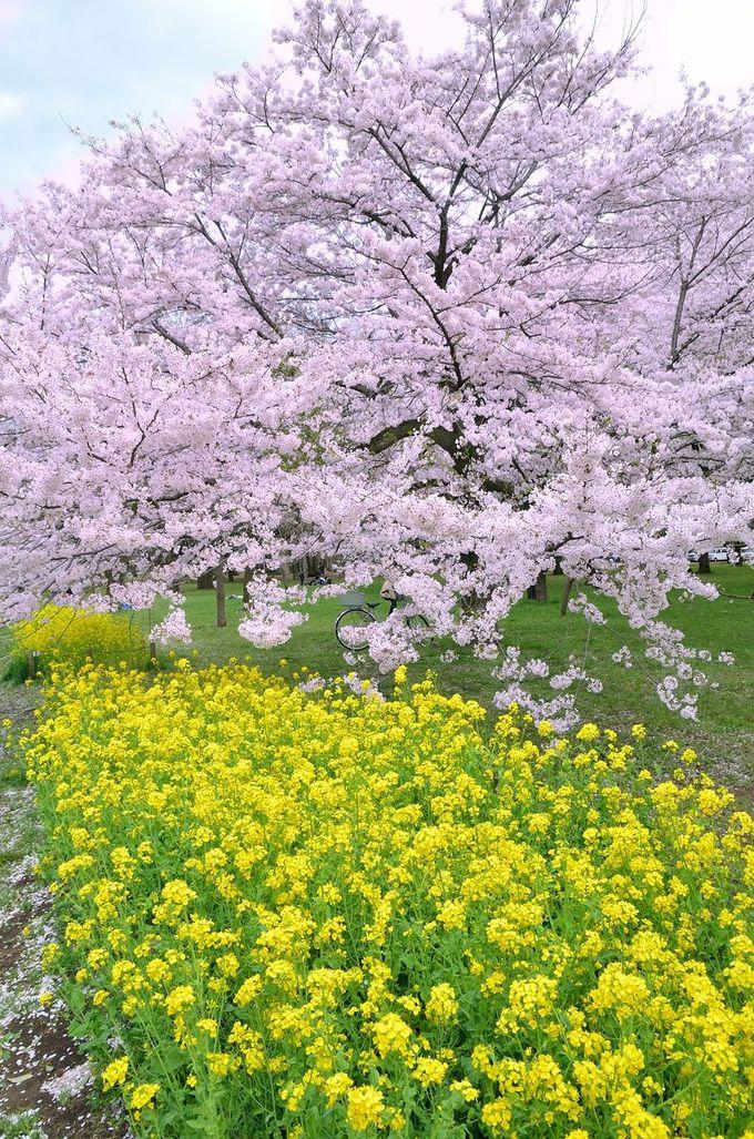 桜だけじゃない!菜の花も必見