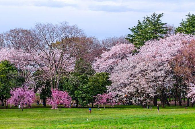 「小金井桜」の歴史