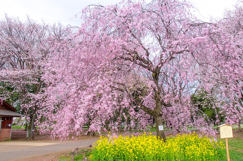 「小金井公園」の桜が凄い!伝統を受け継ぐ東京多摩屈指の花見スポット!