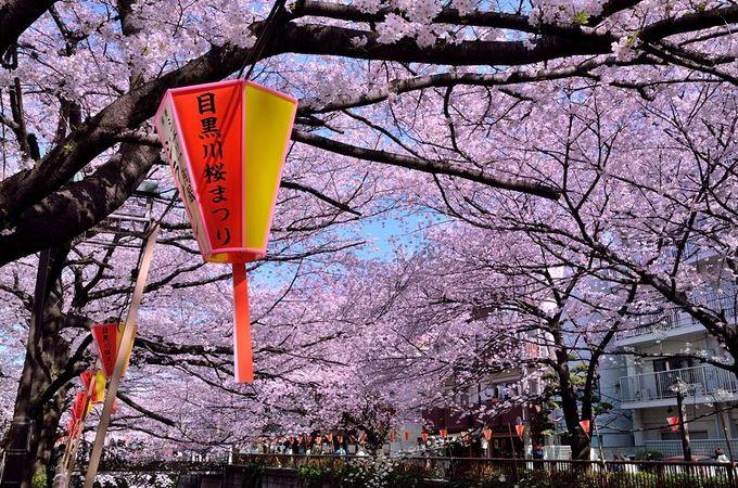 桜並木を飾る無数の提灯