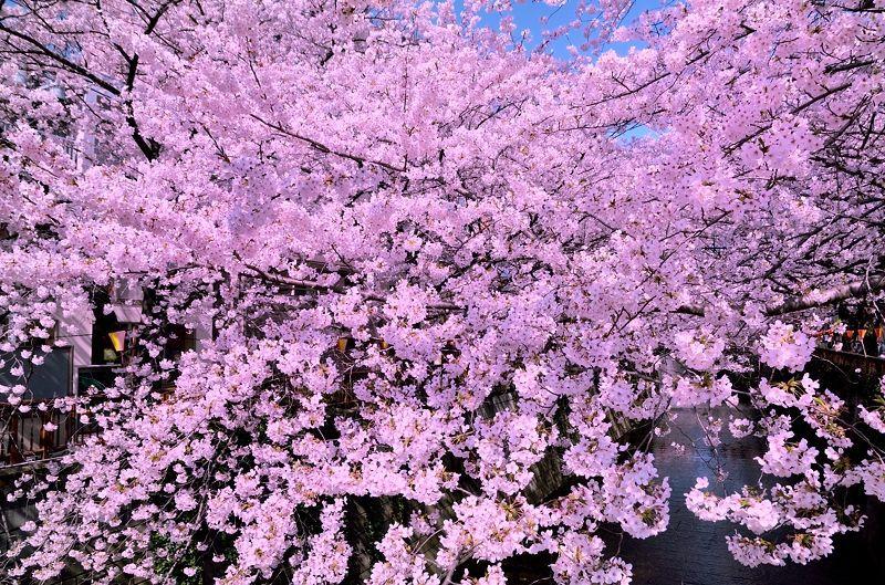 目黒川の桜並木が凄い!東横線沿線屈指の桜の名所で花見を楽しもう!