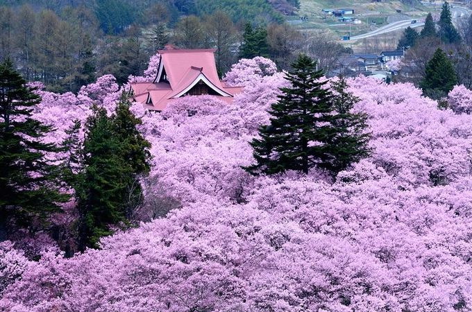 まるで桜の海!白山観音から見下ろす「高遠桜」は絶景すぎる!