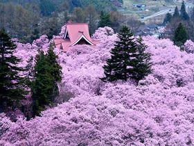 天下第一の桜!「高遠城址公園」は桜の名所中の名所だった!|長野県|トラベルjp<たびねす>