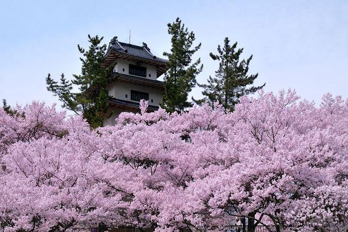 模擬天守を囲む圧巻の桜
