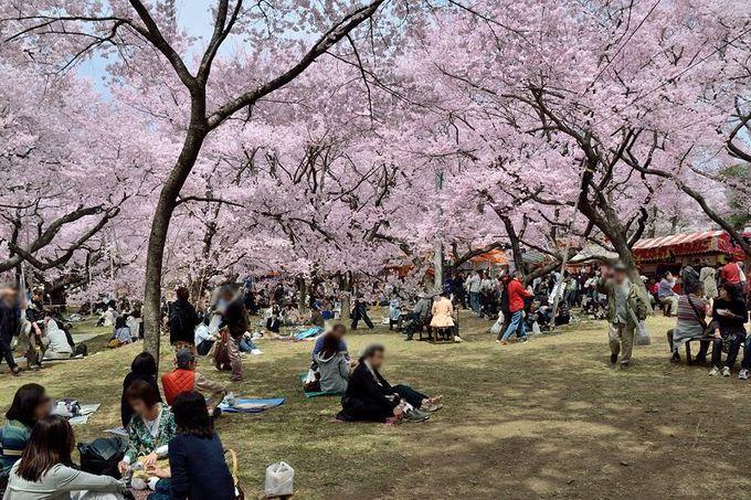 「天下第一」と称される「高遠桜」